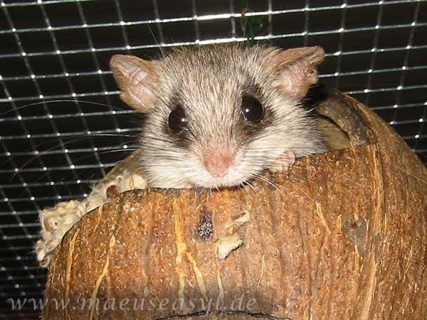 Akazienratte in einer Kokosnuss