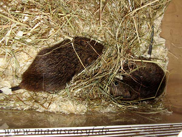 Baumwollratten im Vergesellschaftungskäfig