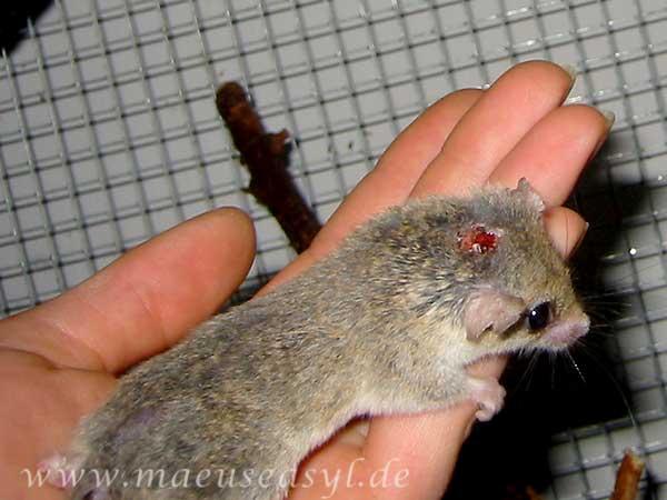 Zwergschläfer mit einer Jagdbissverletzung