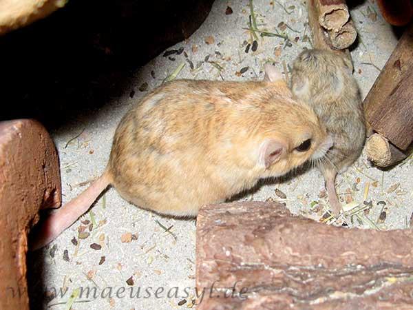 Fettschwanz-Rennmaus Mutter mit Jungtier