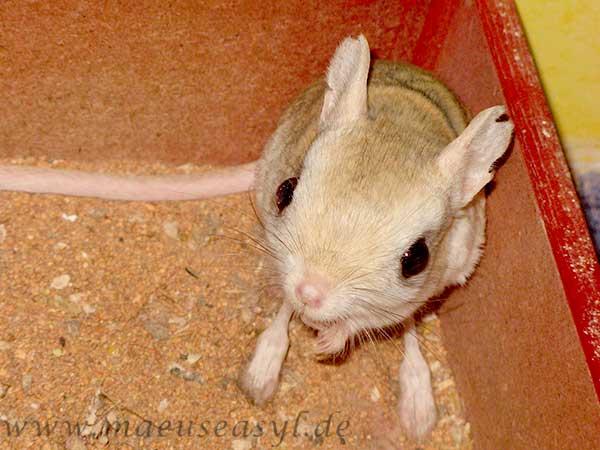 Kleine Wüstenspringmaus