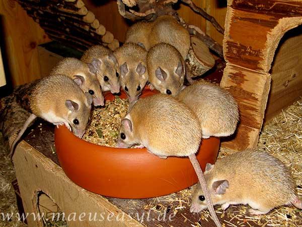 Sinai-Stachelmäuse an der Futterschüssel