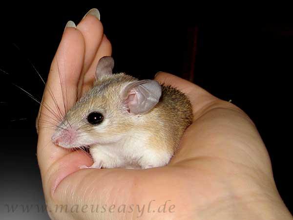 Sinai-Stachelmaus auf der Hand