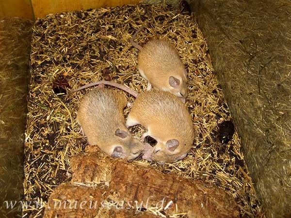 Sinai-Stachelmäuse auf Schabenjagd