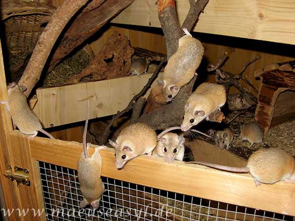 Sinai-Stachelmäuse in ihrer Voliere