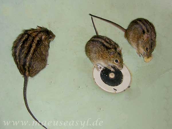 Striemengrasmäuse in der Badewanne