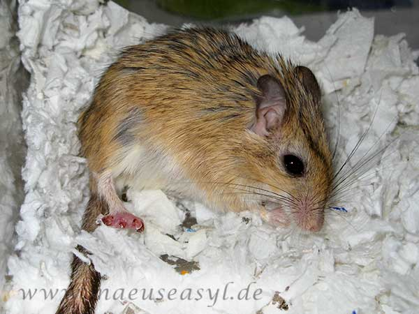 Tierarzt für exotische Mäuse