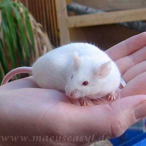 Albino Farbmaus