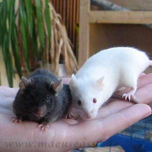 Schwarze und weiße Farbmaus auf der Hand