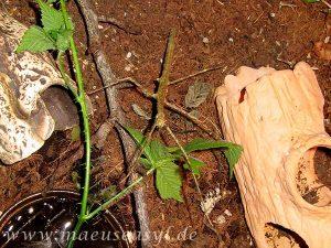 Annam-Schrecken züchten im Terrarium