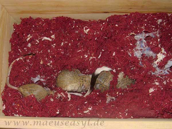 Große Wüstenspringmäuse schlafen in einem zerfressenen Teppich