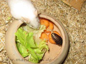 Weiße Maus an Gemüseschüssel mit Schabe