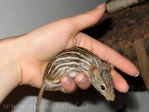 Streifenmaus auf der Hand