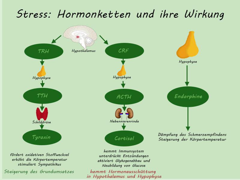 Hormonketten bei der Stressreaktion