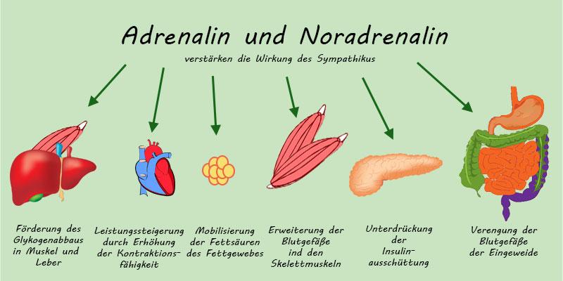 Wirkschema von Adrenalin und Noradrenalin
