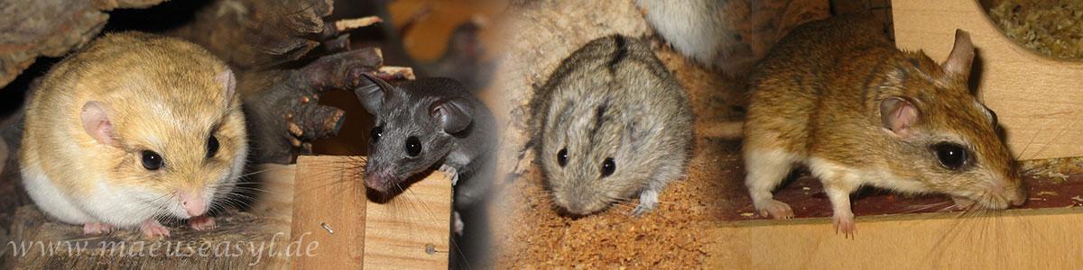 verschiedene Mäusearten