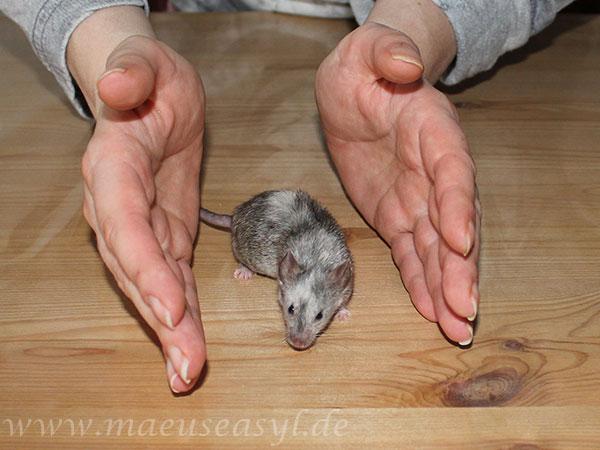 Handling von Mäusen mit beiden Händen