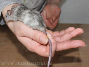 Maus am Schwanz nehmen