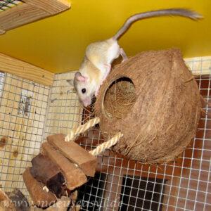 Buschschwanz-Rennmaus auf einer Kokosnuss