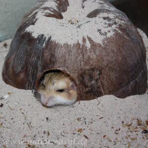 Fettschwanz-Rennmaus versteckt sich unter einer Kokosnuss