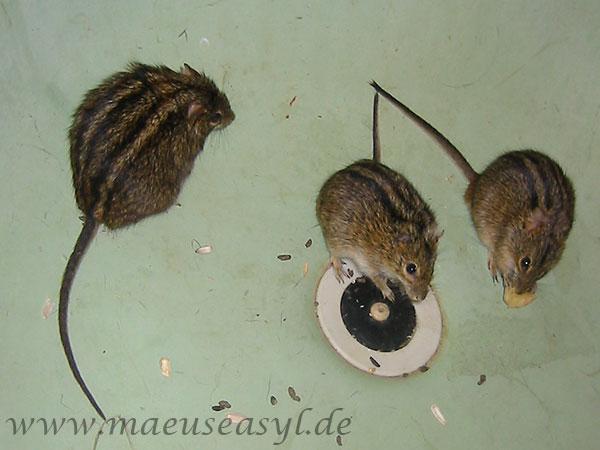 Striemengrasmäuse: übergewichtig vs. normalgewichtig