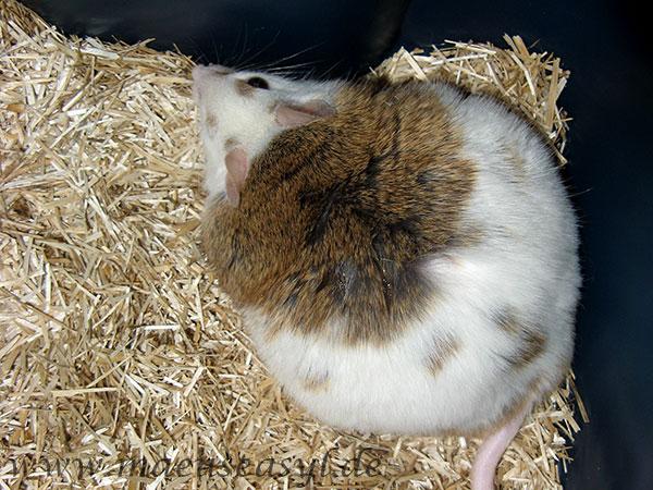 Übergewichtige Vielzitzenmaus