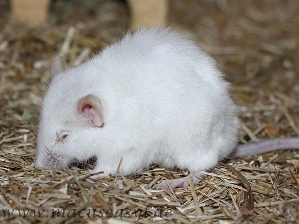 Maus mit Lungenentzündung