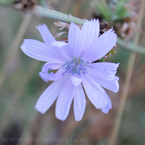 Zichorie - Blüte