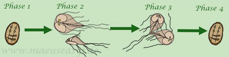 Fortpflanzungszyklus von Giardien