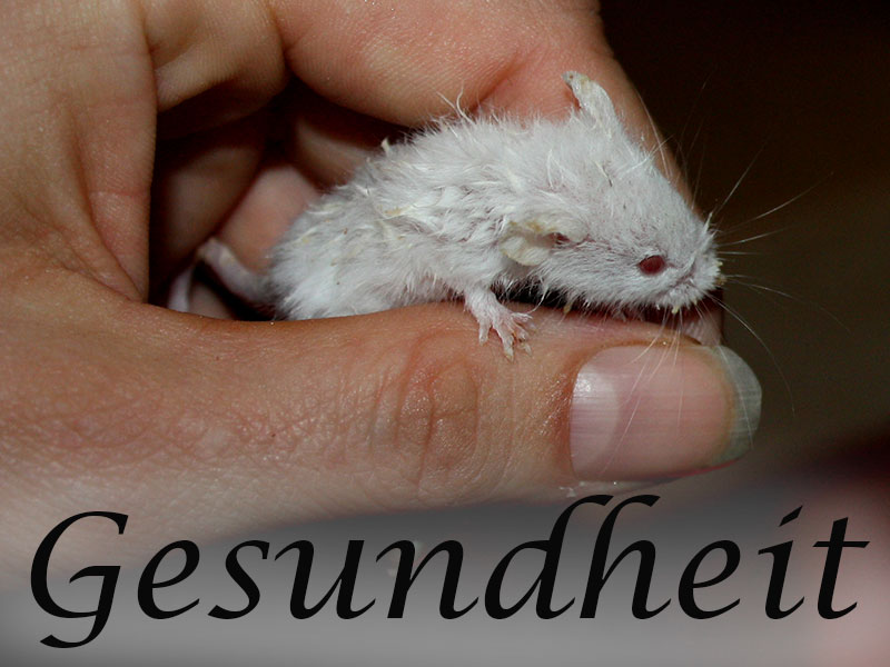 Alles über die Gesundheit von Mäusen im Mäuseasyl