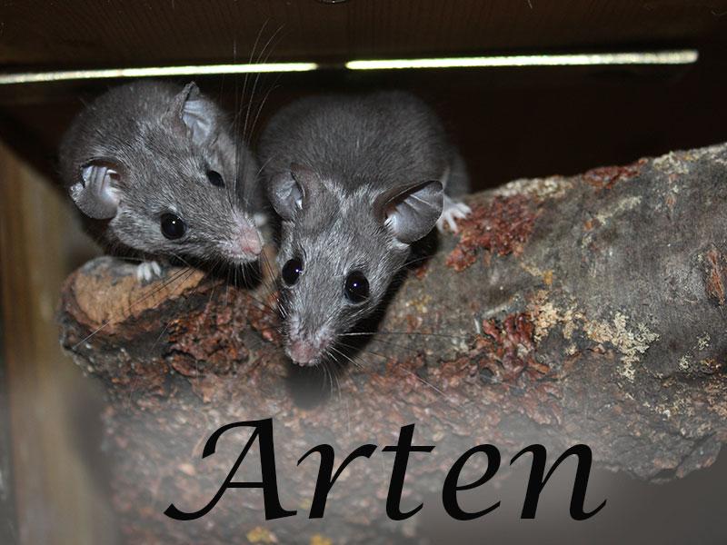 Alles über die Mäusearten im Mäuseasyl