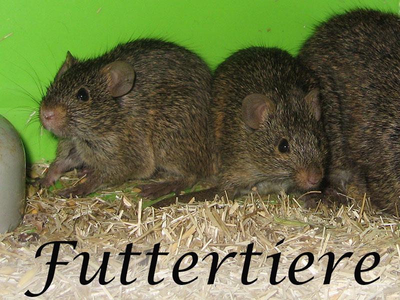 Alles über Mäuse als Futtertiere im Mäuseasyl
