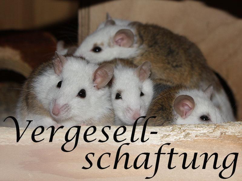 Alles über die Vergesellschaftung von Mäusen im Mäuseasyl