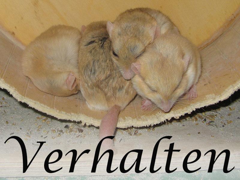 Alles über das Verhalten von Mäusen im Mäuseasyl