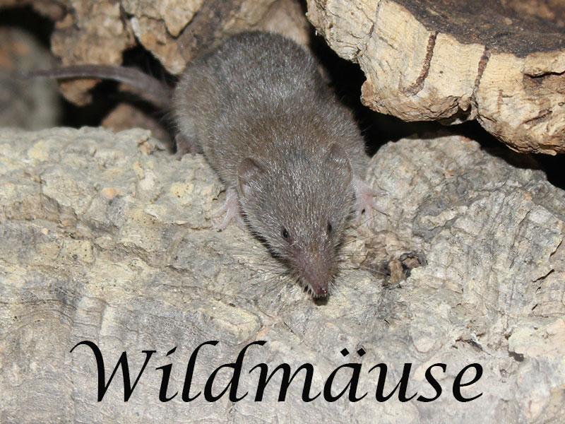 Alles über Wildmäuse im Mäuseasyl