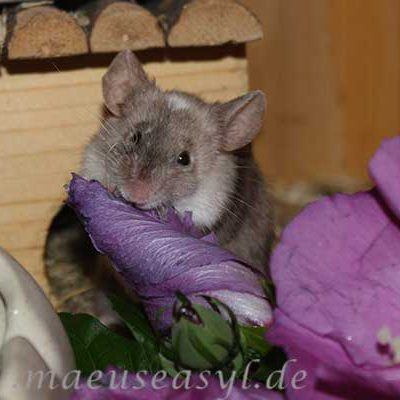 Farbmaus mit Hibiskusblüte