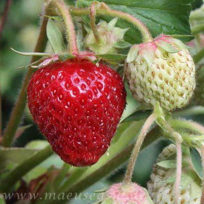 dürfen hamster erdbeeren fressen