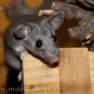 Wie scheu oder zahm exotische Mäuse sein sollten, wissen Sie am besten schon vor dem Kauf